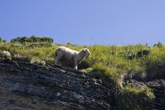 Sheep - Ovis Aries Royalty Free Stock Photography