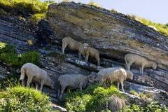 Sheep - Ovis Aries Royalty Free Stock Photos