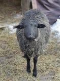 Sheep, ovis aries. Kind, trusting, gentle gaze sheep stock photography