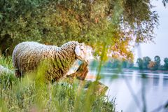 sheep Ovis aries on a meadow at river Danube in Germany at sunset with reflections in water royalty free stock photo