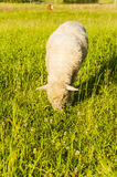 Sheep (Ovis aries) Stock Image