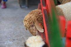Sheep. (Ovis aries) are quadrupedal, ruminant mammals typically kept as livestock. Like all ruminants,  are members of the order Artiodactyla, the even-toed Royalty Free Stock Image
