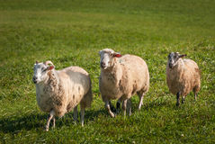 Sheep Ovis aries Run Left Stock Image
