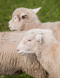 Sheep (Ovis aries) Running By Royalty Free Stock Images