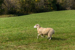Sheep Ovis aries Runs To Left Stock Photography