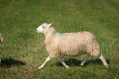 Sheep Ovis aries Trots Left Royalty Free Stock Photography