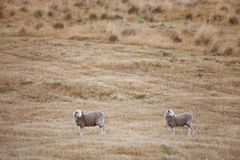 Sheep in Paddock Royalty Free Stock Photo