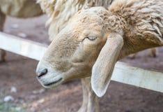 Sheep in the paddock stock photo