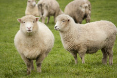 Sheep in paddock. Sheep grazing in a paddock in New Zealand Stock Photography
