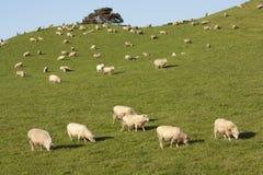 Sheep in paddock stock photo