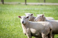 Sheep in paddock Royalty Free Stock Photos