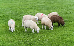 Sheep with paint markings Stock Photography