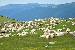 Sheep with paint markings in a green meadow Stock Images