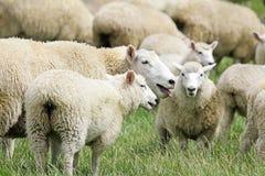 Sheep panting Stock Photos