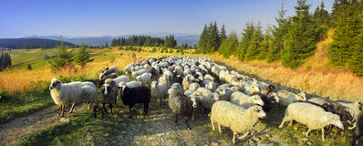 Sheep party. An adventurous encounter with these sheep on one of the winding hilly roads in the midst of the Carpathians, Ukraine. Wonderful morning, chilly Stock Photography