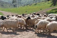 Sheep in a Pastoral Field. A herd of many sheep walking in a green pastoral field stock images