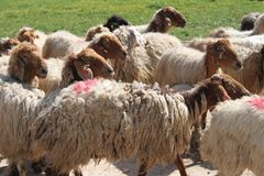 Sheep in a Pastoral Field. A herd of many sheep walking in a green pastoral field stock photos