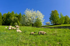 Sheep pasturage Stock Image