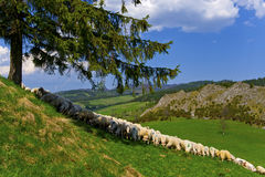 Sheep pasturage Royalty Free Stock Image