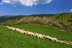 Sheep pasturage Royalty Free Stock Images