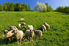 Sheep pasturage Royalty Free Stock Photography