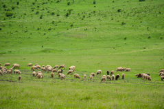 Sheep on the Pasturage Stock Photos