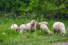 Sheep on the Pasturage Royalty Free Stock Images