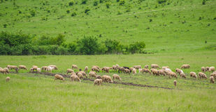 Sheep on the pasturage Stock Photo