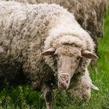 Sheep on the Pasturage Royalty Free Stock Photos
