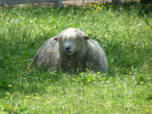 Sheep in pasture. Sheep resting peacefully in pasture Royalty Free Stock Images