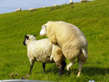 Sheep on pasture. Sheep mating on pasture in northern Germany Stock Photos