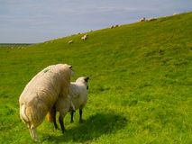 Sheep on pasture. Sheep mating on pasture in northern Germany Royalty Free Stock Photos