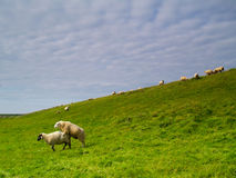 Sheep on pasture. Sheep mating on pasture in northern Germany Stock Photography