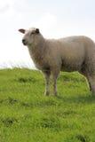 Sheep on pasture Royalty Free Stock Photos