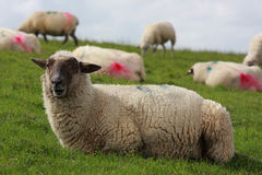Sheep on pasture Stock Photos