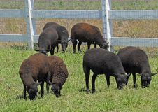 Sheep in Pasture. Black sheep in pasture Royalty Free Stock Photography