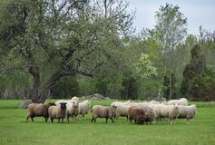 Sheep on the pasture. Sheep grazing on the pasture stock photos