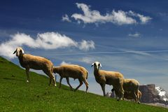 Sheep on a pasture Stock Photography
