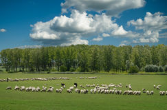 Sheep on pasture Stock Image