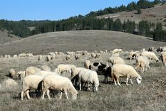 Sheep on a pasture Stock Photos