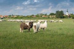 Sheep on pasture Royalty Free Stock Image