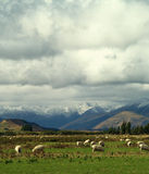 Sheep on pasture Royalty Free Stock Photo
