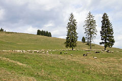 Sheep on the pasture Stock Photography