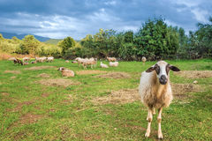 Sheep in pasture Royalty Free Stock Photos