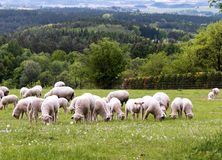 Sheep on pasture Royalty Free Stock Image