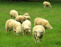 Sheep in the pasture Royalty Free Stock Images
