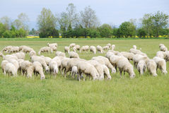 Sheep on pasture. Sheep in a field (Italy Stock Photo