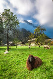 Sheep on pasture in the Alps at sunrise Royalty Free Stock Photo
