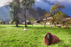 Sheep on pasture in the Alps at sunrise Stock Photo