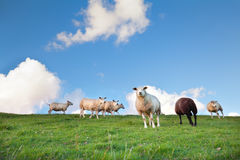 Sheep on pasture and blue sky Stock Photo